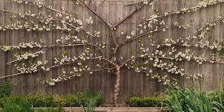 Espalier Training Of Fruit Trees Is Fun But Demanding  Oregon Growing Cordon Fruit Trees
