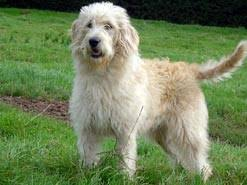 a labradoodle dog part retriever part poodle