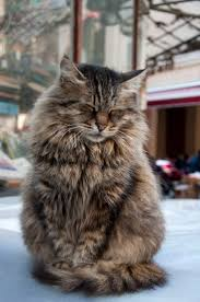 Best 25 Norwegian Forest Cat Price Ideas On Pinterest Maine