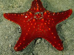 starfish starfish star and marines starfish seastar a great totem for solo practitioners the starfish teaches us how