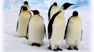 emperor penguin food chain. Simple Emperor Emperorpenguingroupsnowngsversion1396531012361adapt19001jpg With Emperor Penguin Food Chain R