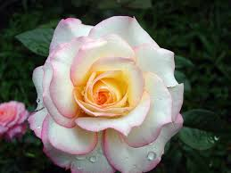 Image result for images of white rose hd