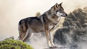 Wolf Mountain 4k Wolf 4k 1951890 Hd Wallpaper