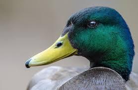 ördek ile ilgili görsel sonucu