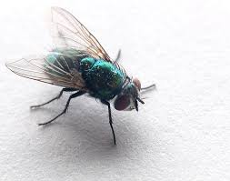 Controlling and Preventing Flies at Home and At Work