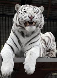 white tiger growling. Beautiful White Khan A 2yearold Male Bengali White Tiger Growls Inside Cage At The  Royev Ruchey Zoo In Krasnoyarsk And White Tiger Growling H