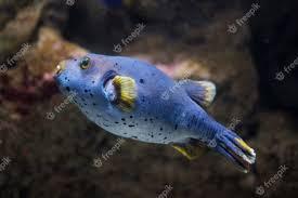 puffer fish tetraodontidae