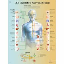 Muscle Location And Function Chart The Vegetative Nervous System Chart