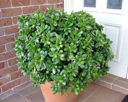 feng shui plant office. The Picturesque Jade Plant Is Given A Special Place Among Feng Shui Practitioners. It Medium-sized, Moist Cactus Plant, Which Considered Very Office