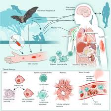 Feb 15, 2018 · marburg virus is the causative agent of marburg virus disease (mvd), a disease with a case fatality ratio of up to 88%. Marburg Virus Pathogenesis Differences And Similarities In Humans And Animal Models Virology Journal Full Text