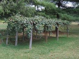 Grape arbor | Sherri Ann's Garden | Pinterest | Grape arbor, Arbors and  Gardens