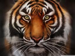 tiger face wallpaper hd. Simple Wallpaper Tiger Face Wallpaper HD Inside Face Wallpaper Hd Cave