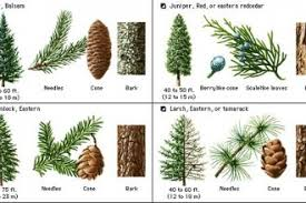Tree Identification Chart Pine Tree Identification Guide Biological Science Picture
