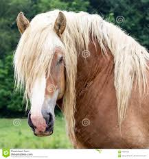 draft horse head profile.  Draft Draft Horse Head Square Square Image Of A Draft Stud Royalty Free  Stock Images Intended Horse Head Profile R