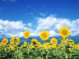 Desktop Wallpapers: Sunflowers Desktop ...