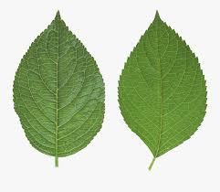 leaf clipart apple tree leaves png