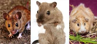 can pet rats live with mice or guinea