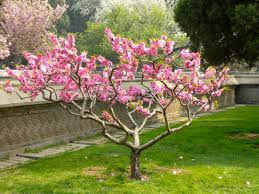 flourishing garden. Spring, Green, Asia, Botany, Pink, Flora, Shrub, Flourishing, Blooms, Flowering Plant, The Delicacy, Little Flowers, Flowers In Garden, Woody Flourishing Garden N