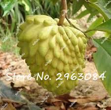 Annona Cherimola Fruit Tree Stock Photo  Image 38936412Annona Fruit Tree