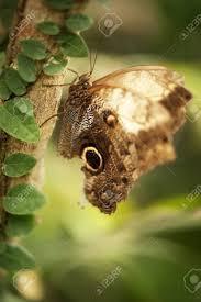Ein Herrliches Riesen Owl Butterfly Caligo Idomeneus Ruht Auf Einem Baum  Lizenzfreie Fotos, Bilder Und Stock Fotografie. Image 13162312.