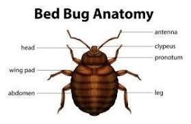 Everything About Bed Bugs Fischers Pest Control