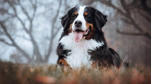 fluffy dog breeds 34 small large and
