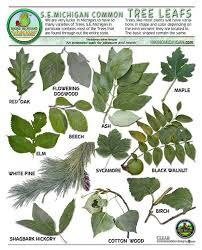 Fruit Tree Identification Chart Michigan Tree Identification By Leaf Leavesid Michigan