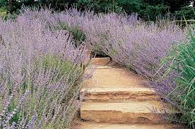 drought resistant garden. Top 10 Drought-Tolerant Plants: Russian Sage Drought Resistant Garden