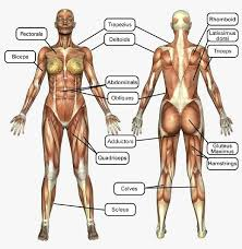 Bodybuilding Muscle Chart Female Muscle Chart Muscle Names Major Muscles Muscle