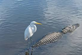 Image result for pictures of egrets riding animals