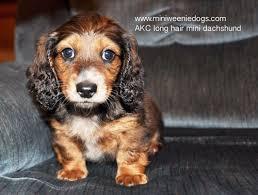 miniature dachshund puppies in