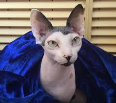 кошка сфинкс кошка с шармом