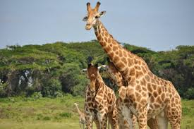 pictures of a giraffe. Perfect Pictures Giraffes Wildlife Africa And Pictures Of A Giraffe M