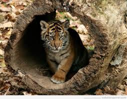 cute baby tiger. Exellent Cute Cute Baby Tiger In Cute Baby Tiger A