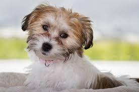 Cavachon Puppy Weight Chart Cavachon The Complete Care Guide To This Teddy Bear