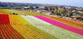 the flower fields in carlsbad put on a show last year the flower fields