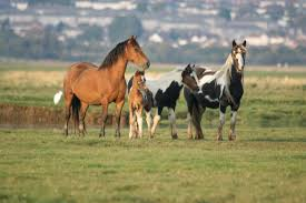 wild horses running wallpaper. Beautiful Black Wild Horses Running Wallpaper On