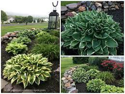 growing hostas in your garden with easy