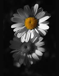 black and white photography with color flowers. Beautiful And 6flowersblackwhiteyellowfromdark Color Splash By Azra Ferhatovic With Black And White Photography Flowers Pinterest