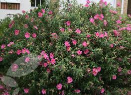 Pink Flowering Bush PhotoShrub With Pink Flowers