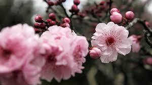 Bunga Sakura Bunga Sakura Tidak Cuma Tumbuh Di Jepang Greeners Co