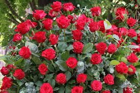 rose rose festival nature flowers garden