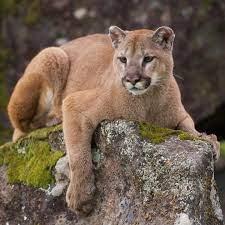 Pumas von Wildhütern getötet – sie hatten menschliche Überreste gefressen |  ST