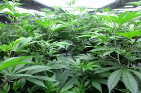 Canopy Growth Corporation Stock Globe And Mail