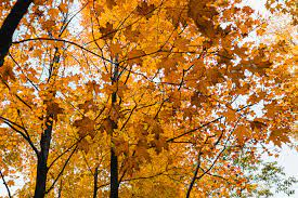 deciduous trees meaning lists of exles