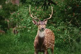 Deer Vitals Chart Shot Placement For Deer Hunters