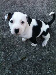 white and black pitbull puppies. Fine Pitbull Black And White Pitbull Puppy Throughout White And Pitbull Puppies