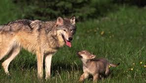 baby wolf. Modren Wolf JupiterimagesliquidlibraryGetty Images In Baby Wolf