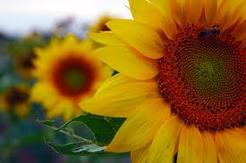 sunflower nature beauty peace peaceful yellow