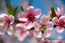 Fototapeta Kwitnące drzewa brzoskwini na niebieskim tle nieba • Pixers® -  Żyjemy by zmieniać
